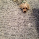 San Francisco-Dog-carpet-clean